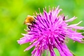 Close-up of a bumblebee and a fly on a the pink flower of a thistle