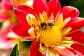 Floer of yellow-red dahilia with a honey bee fetching nectar