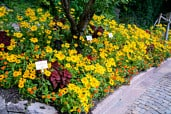 Yellow and orange couloured flower bed with Zinnias and rudbekias.
