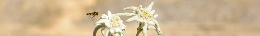 websiteheader-Alpine-flower-Edelweiss-Leontopodium-alpinum_D800-6045