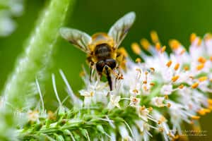 Macro photos of a honey bee and bumblebee