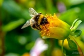 Honey bee fetching nectar from dahlia