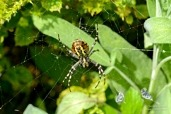 Female wasp spider (Argiope bruennichi) with food packets in her web