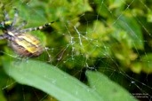 Female wasp spider (Argiope bruennichi) catches a fly