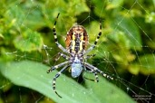 Female wasp spider (Argiope bruennichi) wraps a fly in spider silk