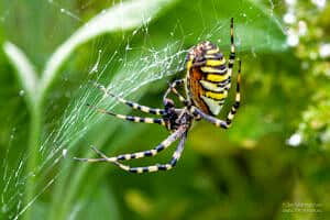 Macro photos of a wasp spider
