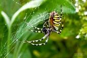 Female wasp spider (Argiope bruennichi) consumes a fly