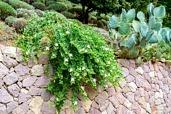 Caper bush next to a cactus