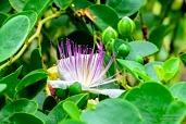 Flower of the caper bush